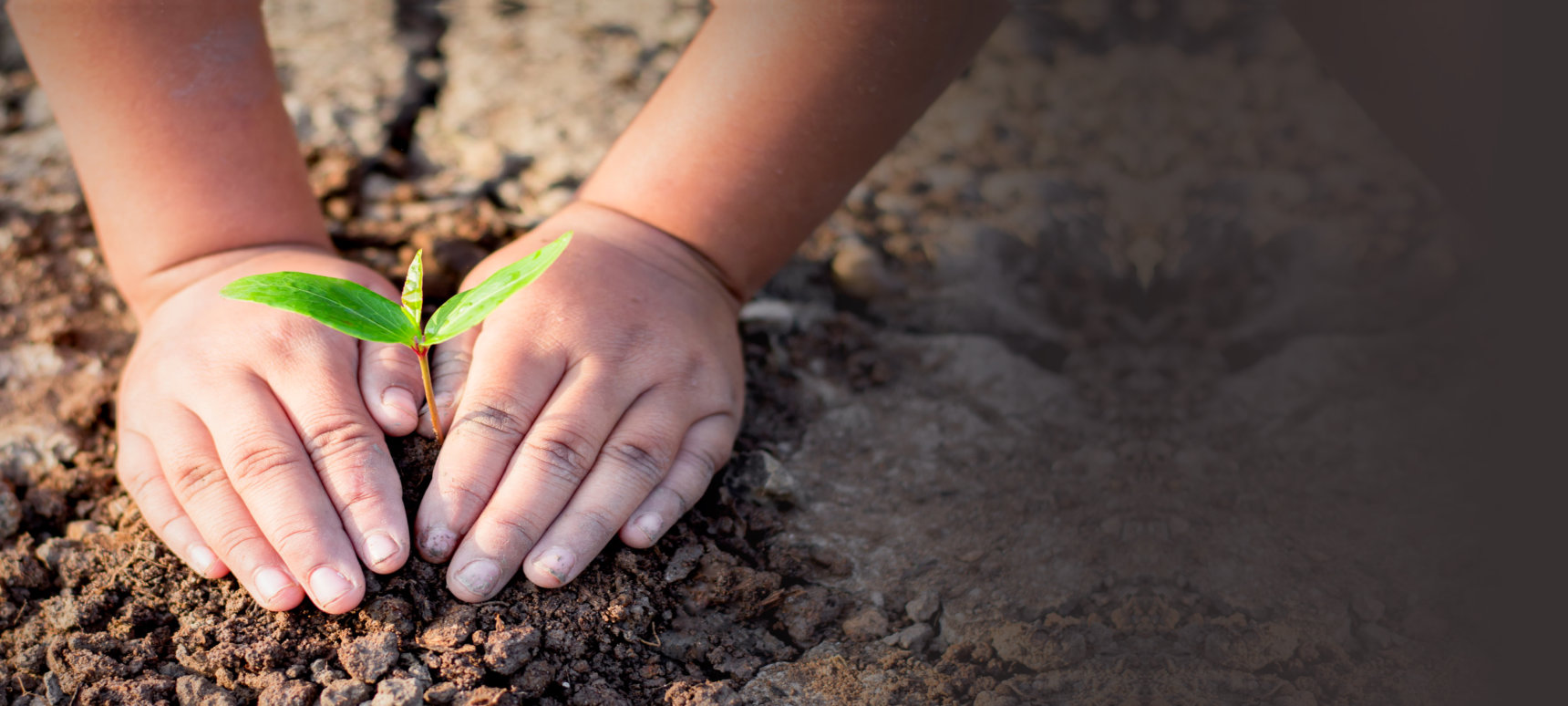 little kid's hand planting a sapling